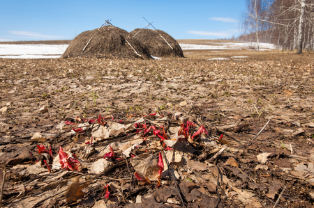 caked: the first spring shoots of grass, snow caked old birch forest edge, old haystack after winter