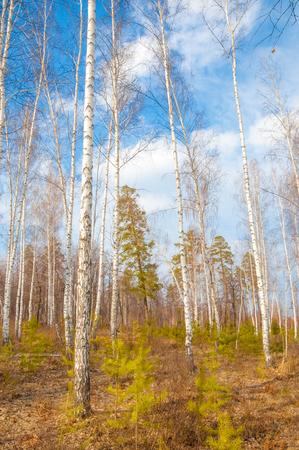 gauzy: Early spring in birch forest.