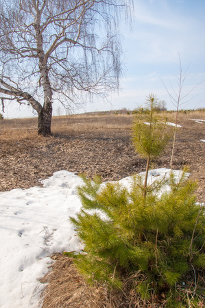 early spring snow: shallow ravine, the old snow, early spring, birch and pine, young, Early spring landscape in a field near the forest. Melting snow on the road in the woods on a sunny day in early spring
