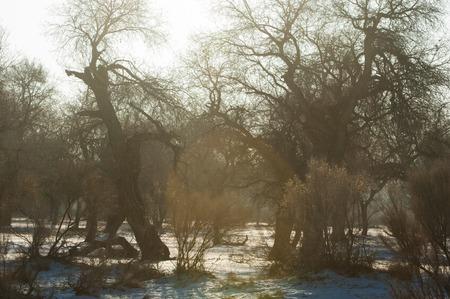 relict: Turanga relict trees in the winter, Populus heterophyllous. the river or Kazakhstan. Kapchagai Bakanas Stock Photo