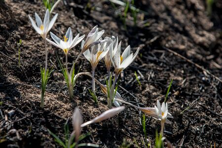 widely: white crocus, snowdrop, a widely cultivated bulbous European plant that bears drooping white flowers during the late winter. Stock Photo