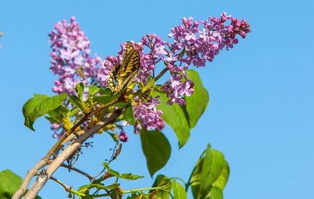 lilac flowers: Spring. lilac flowers. Bunch of lilac flowers over white background with sample text. Spring flower, twig purple lilac. Syringa vulgaris.