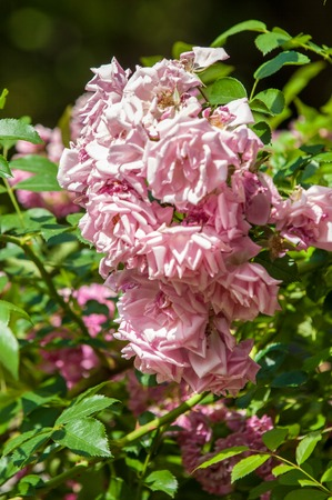 stamen wasp: hybrid tea roses. Tea rose. a garden rose with flowers that have a delicate scent said to resemble that of tea.  A medium pink cluster-flowered hybrid tea that blooms repeatedly.