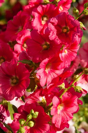 ornamentals: mallow. a herbaceous plant with hairy stems, pink or purple flowers, and disk-shaped fruit. Several kinds are grown as ornamentals, and some are edible.