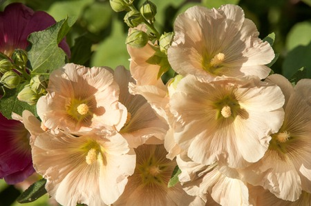 herbaceous plant: mallow. a herbaceous plant with hairy stems, pink or purple flowers, and disk-shaped fruit. Several kinds are grown as ornamentals, and some are edible.