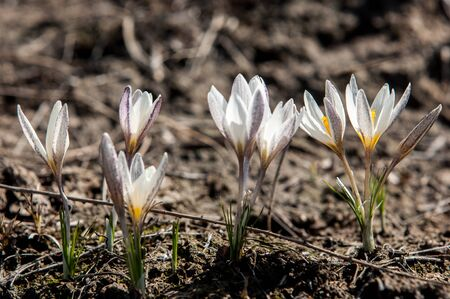 drooping: white crocus, snowdrop, a widely cultivated bulbous European plant that bears drooping white flowers during the late winter. Stock Photo