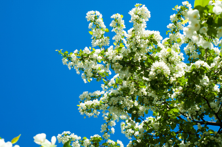 stamen wasp: apple flowers. spring flowers. Soft image of a blossoming tree Stock Photo