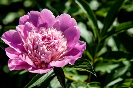 pion: peony. Ornamental plant with large flowers, the primarily. white, pink or bright red.