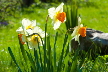 jonquil: daffodil, daffodilly, daffy. a bulbous plant that typically bears bright yellow flowers with a long trumpet-shaped center (corona).
