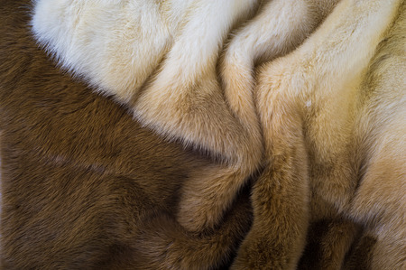 visone: Texture, background. mink fur. Mink coat. Gold color mink fur. a small, semiaquatic, stoatlike carnivore native to North America and Eurasia. The American mink is widely farmed for its fur.