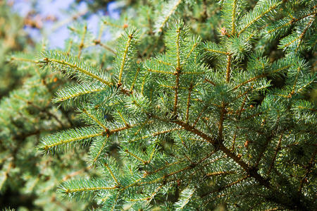 blue spruce. a North American spruce with sharp, stiff blue-green needles, growing wild in the central Rocky Mountains. Its many cultivated varieties tend to be bluer in color than the wild ones.