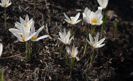 drooping: snowdrop. a widely cultivated bulbous European plant that bears drooping white flowers during the late winter.