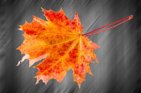 photo studio: Fall Leaves Photo Studio. Maple Leaf Stock Photo