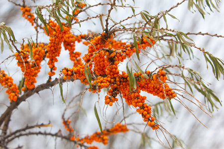buckthorn in the winter. Berries of sea-buckthorn are in winter after a snow-fall. The branches of sea-buckthorn with snow. covered with snow wild sea buckthorn Stock Photo