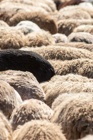 Texture, background, Fur sheep. A flock of sheep in the pasture, hid his head from the sun