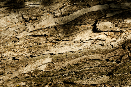 poplar: Texture, background. bark of tree. Poplar bark. Stock Photo