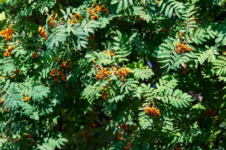 Rowan berries on a tree. rowan-tree lush bunches of red mountain ash on the branches of a tree. shallow depth of field.