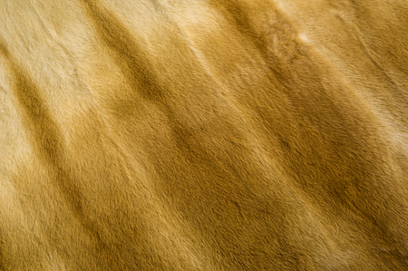 certain: Texture, background. Mink fur. he short, fine, soft hair of certain animals. carnivorous mammals of the family Mustelidae Stock Photo