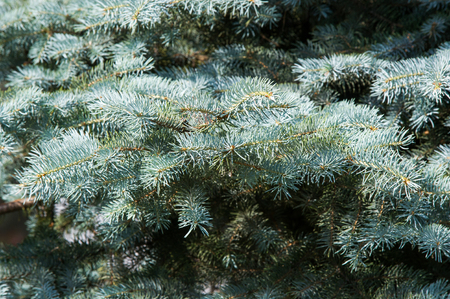 tend: blue spruce. a North American spruce with sharp, stiff blue-green needles, growing wild in the central Rocky Mountains. Its many cultivated varieties tend to be bluer in color than the wild ones.