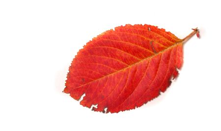 canadian icon: texture. background. red autumn leaves