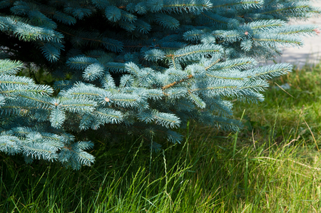 to tend: blue spruce. a North American spruce with sharp, stiff blue-green needles, growing wild in the central Rocky Mountains. Its many cultivated varieties tend to be bluer in color than the wild ones.