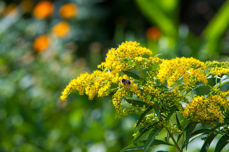 asteraceae: looming goldenrod. Solidago, or goldenrods, is a genus of flowering plants in the aster family, Asteraceae
