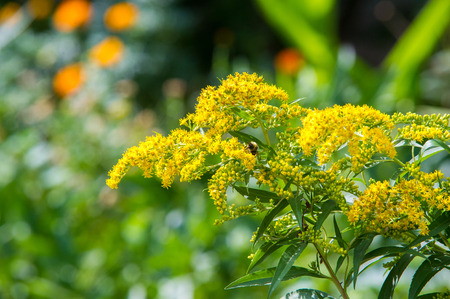 flowering plants: looming goldenrod. Solidago, or goldenrods, is a genus of flowering plants in the aster family, Asteraceae