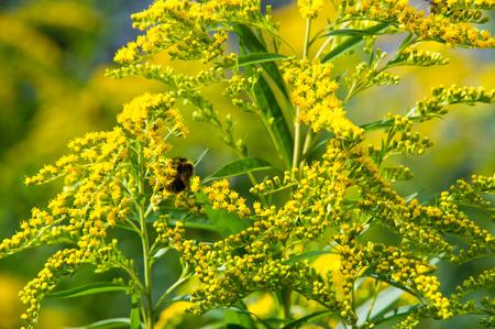 herbalism: looming goldenrod. Solidago, or goldenrods, is a genus of flowering plants in the aster family, Asteraceae