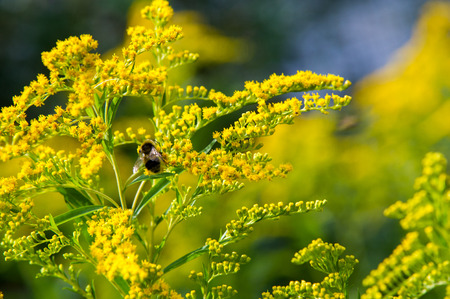 propagated: looming goldenrod. Solidago, or goldenrods, is a genus of flowering plants in the aster family, Asteraceae