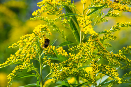 invasive species: looming goldenrod. Solidago, or goldenrods, is a genus of flowering plants in the aster family, Asteraceae