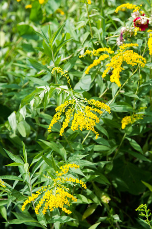 goldenrod: looming goldenrod. Solidago, or goldenrods, is a genus of flowering plants in the aster family, Asteraceae