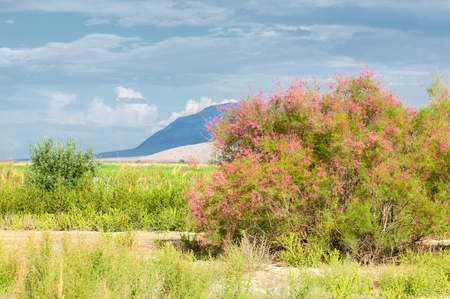 steppe, prairie, veld, veldt. Tamariske.  Bright shrub blooms in the desert Stock Photo
