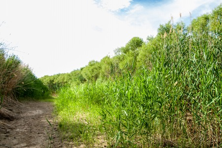cane, reed, rush, thatch, frail. reeds growing along the road. Kazakhstan. Altyn Emel National Park Stock Photo