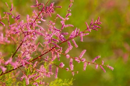 steppe, prairie, veld, veldt. Tamariske.  Bright shrub blooms in the desert Stock Photo