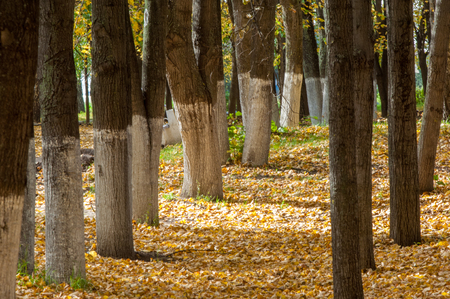 tilo: Autumn in the park, linden trees dropped leaves yellow