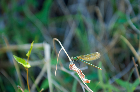 Dragonfly sitting on a reed Stock Photo