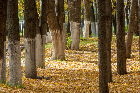 Autumn in the park, linden trees dropped leaves yellow