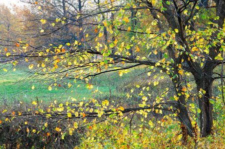hazel tree: autumn. hazel tree with deciduous leaves Stock Photo