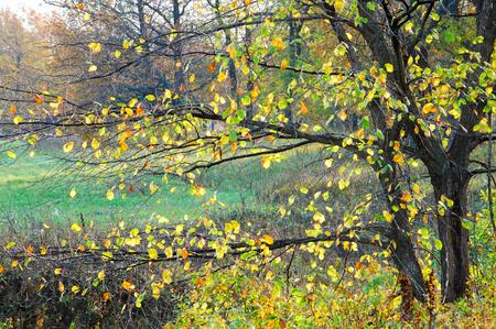 albero nocciolo: autunno. nocciolo con foglie decidue