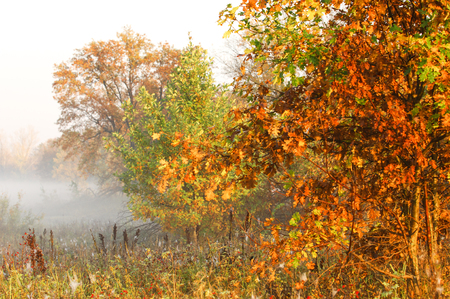 noon: Fall forest, fog, morning, evening, bright yellow sun. Rare beautiful state prirody.the period of time between midnight and noon, especially from sunrise to noon.