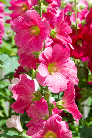 herbaceous plant: Mallow flowers. a herbaceous plant with hairy stems, pink or purple flowers, and disk-shaped fruit. Several kinds are grown as ornamentals, and some are edible. Stock Photo