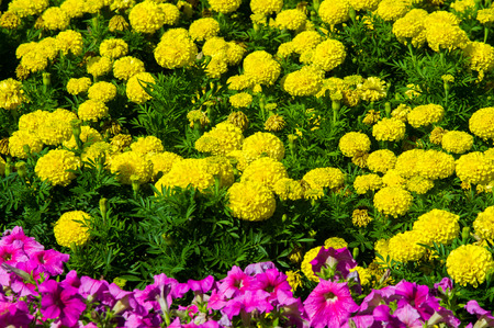 flower beds: Tagetes,  Petunia, Petunia  atkinsiana. Flower beds Stock Photo