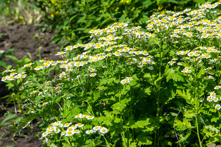 spasms: Chamomile or camomile flowers. Herbaceous plants with buds, have to-ryh petals are usually white, and the middle yellow. The drug infusion or powder from the flowers of this plant.