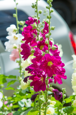 ornamentals: Mallow flowers. a herbaceous plant with hairy stems, pink or purple flowers, and disk-shaped fruit. Several kinds are grown as ornamentals, and some are edible. Stock Photo
