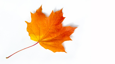 texture, background. Maple Leaves yellow shades of red and gold. the leaf of the maple, used as an emblem of Canada. On a white background.