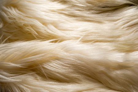 texture, background. Fur white yak. a large domesticated wild ox with shaggy hair, humped shoulders, and large horns, used in Tibet as a pack animal and for its milk, meat, and hide. Stock fotó