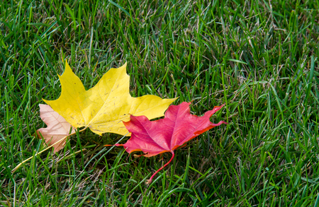Texture, background. autumn leaves, maple leaves red and yellow. a tree or shrub with lobed leaves, winged fruits, and colorful autumn foliage,