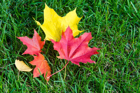 shrub: Texture, background. autumn leaves, maple leaves red and yellow. a tree or shrub with lobed leaves, winged fruits, and colorful autumn foliage,