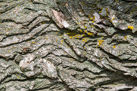 rinds: exture, background. Bark of tree. Old poplar, outdoor, over wood, piece of trunks, stems and roots of woody plants.