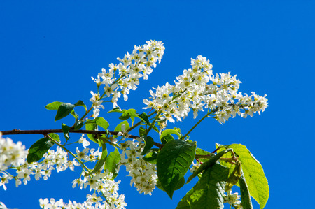 yellow stamens: Closeup of branch of bird cherry, brightly backlit against sky. bird cherry flowers Stock Photo